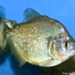 Piranha Amarela (Serrasalmus spilopleura)