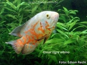 Astronotus-ocellatus2