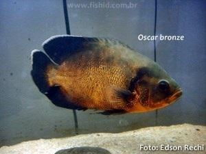 Astronotus-ocellatus5