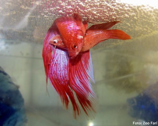 Betta-splendens-rep