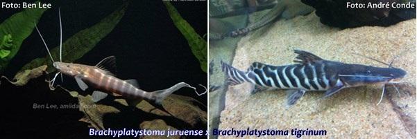 Brachyplatystoma-tigrinum7