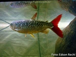 Chalceus-erythrurus5