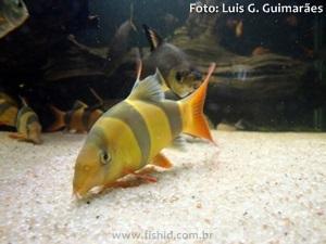 Chromobotia-macracanthus4