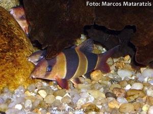 Chromobotia-macracanthus5