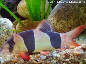 Chromobotia-macracanthus6