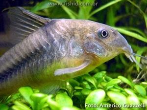 Corydoras-aeneus4