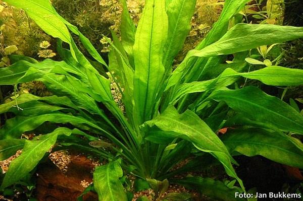 Echinodorus-bleheri