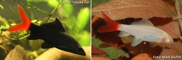 Epalzeorhynchos-bicolor-double