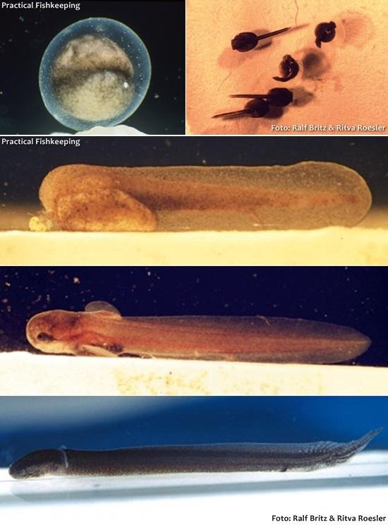 Erpetoichthys-calabaricus-double