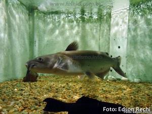 Ictalurus-punctatus5