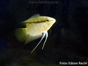 Mesonauta-festivus4