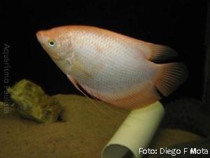 Osphronemus goramy5