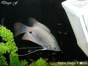 Osphronemus goramy7a