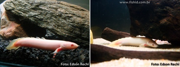 Polypterus-senegalus-double