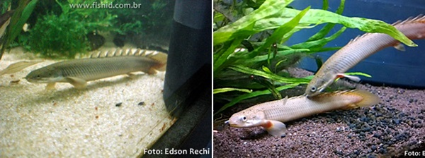 Polypterus-senegalus-double2