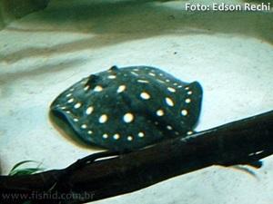 Potamotrygon-leopoldi3