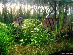 Pterophyllum-leopoldi2-300x225