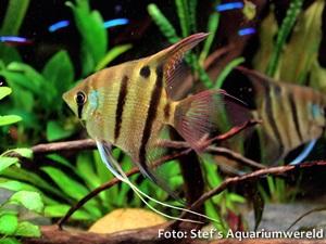Pterophyllum-leopoldi3