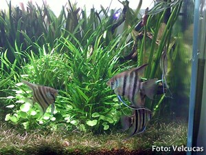 Pterophyllum-leopoldi5