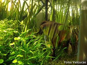 Pterophyllum-leopoldi6