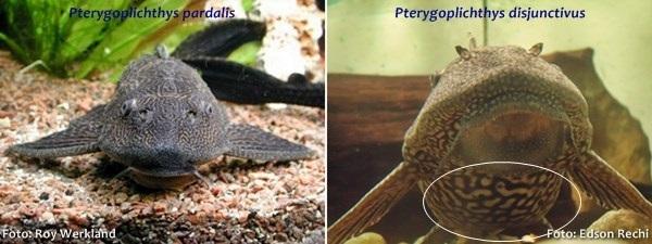 Pterygoplichthys-pardalis7