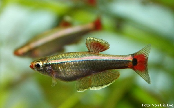Tanichthys-albonubes