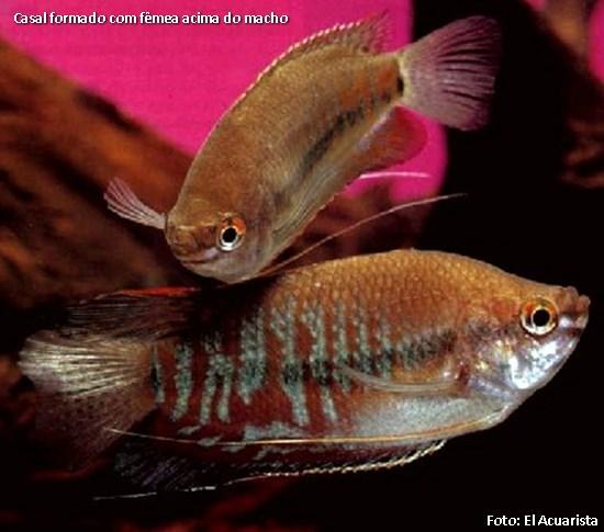 Thricogaster-labiosa4