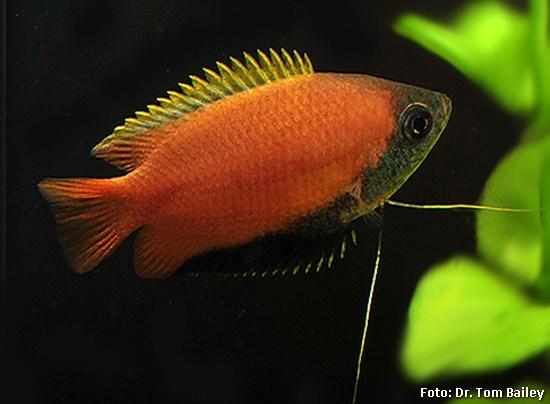 Trichogaster chuna2