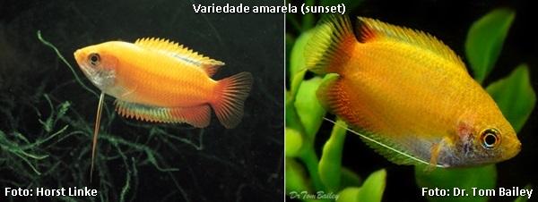 Trichogaster chuna4