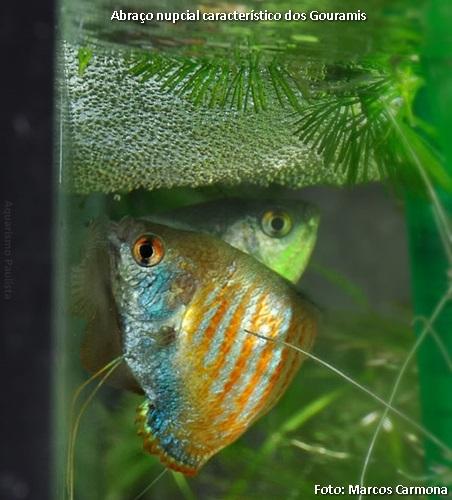 Trichogaster lalius-rep