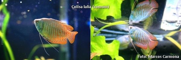 Trichogaster lalius2