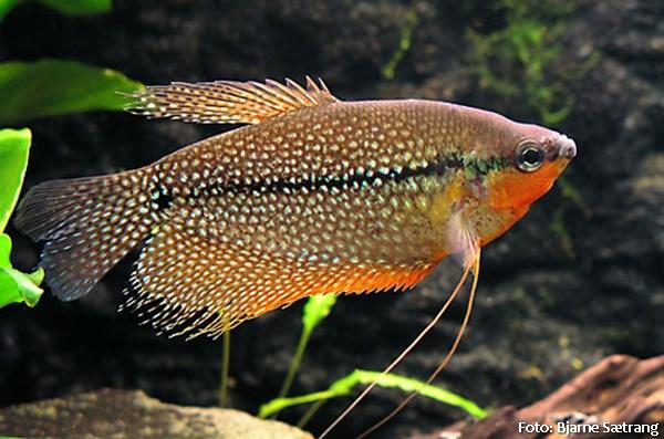 Trichogaster leerii5