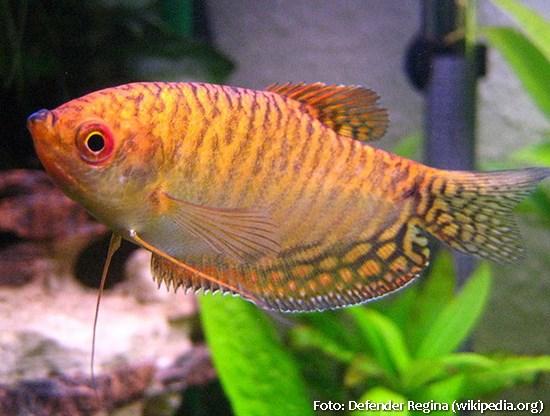 Trichogaster-trichopterus3