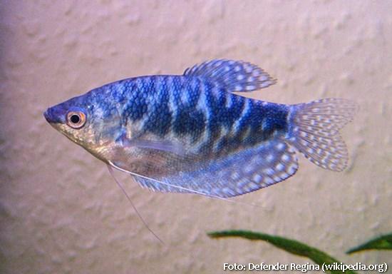 Trichogaster-trichopterus4