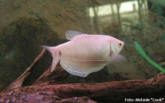 Trichogaster-trichopterus5