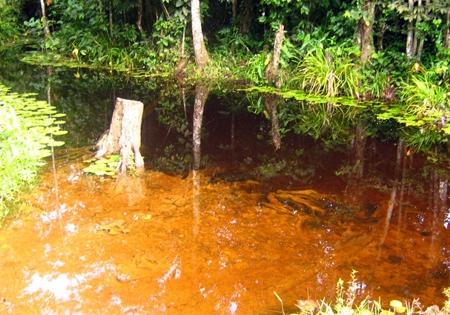Típico igarapé, um dos ambientes onde os Discos podem ser encontrados