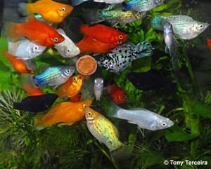 Alimenta O De Peixes Ornamentais Pequeno Faq Aquarismo