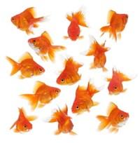 iniciando-goldfish