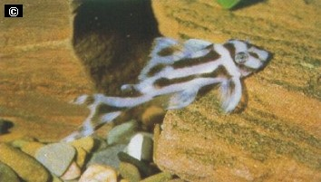 rep-zebra12